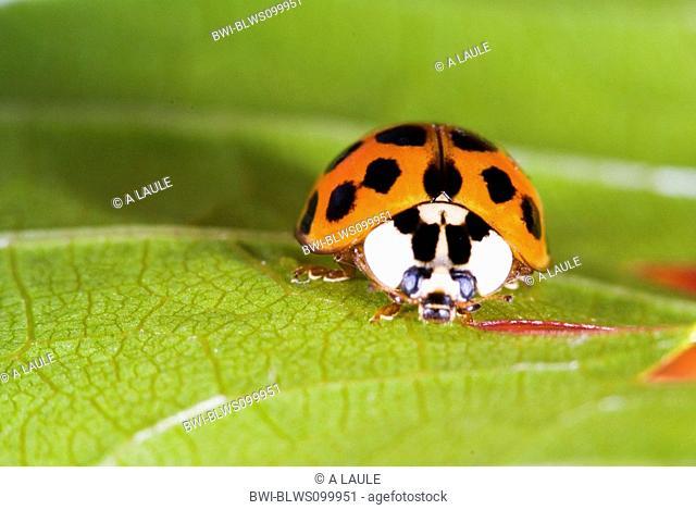 multicoloured Asian beetle Harmonia axyridis, on a leaf