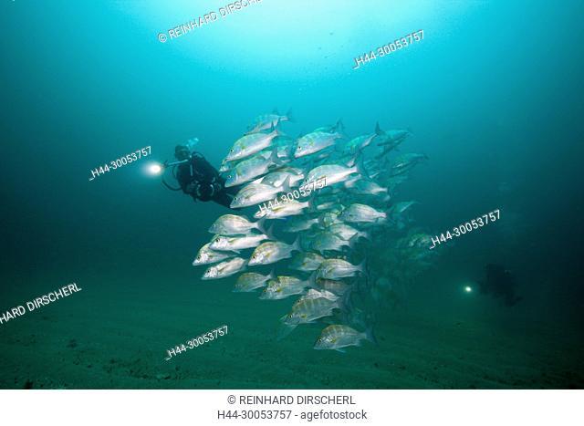 Scuba Diver and Dog Snapper, Lutjanus novemfasciatus, Cabo Pulmo, Baja California Sur, Mexico