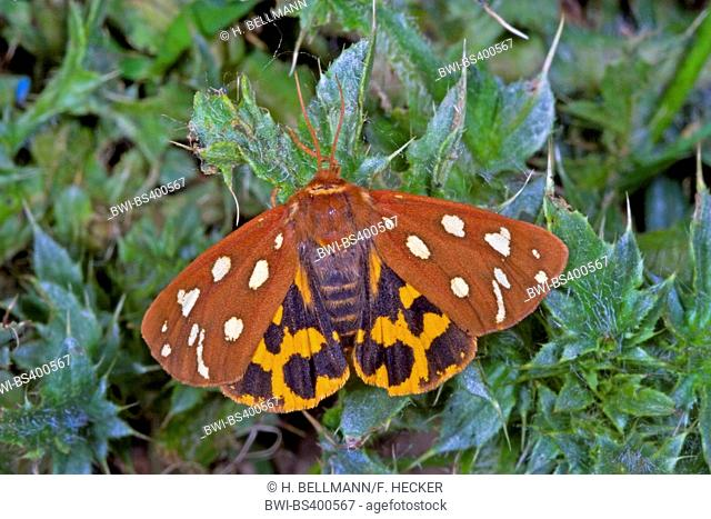 Brown Tiger Moth (Hyphoraia aulica), sits on a leaf, Germany