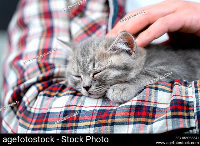 Scottish straight-eared gray kitten sleeps in arms of owner of house. Thoroughbred cute little British cat falls asleep in hands of young man