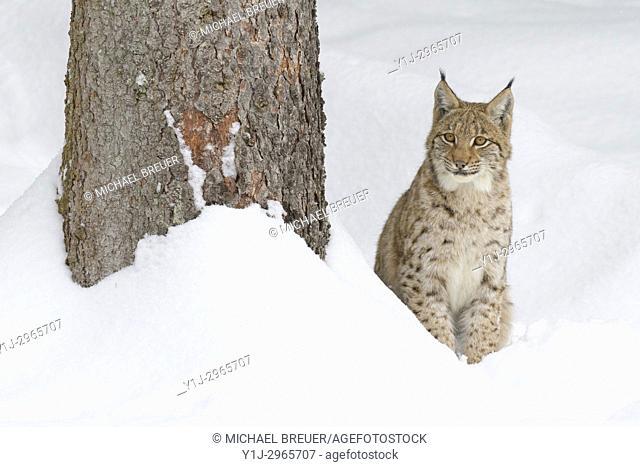European Lynx in Winter, Lynx lynx, Bavarian Forest National Park, Germany, Europe