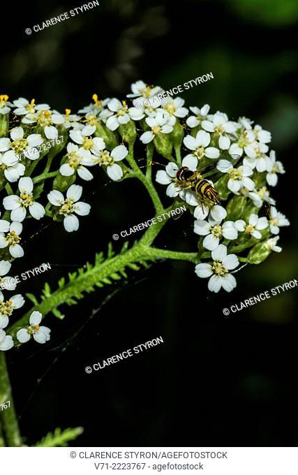 American Hover Fly (Metasyrphus americanus) Feeding on Yarrow (Achillea millefolium)