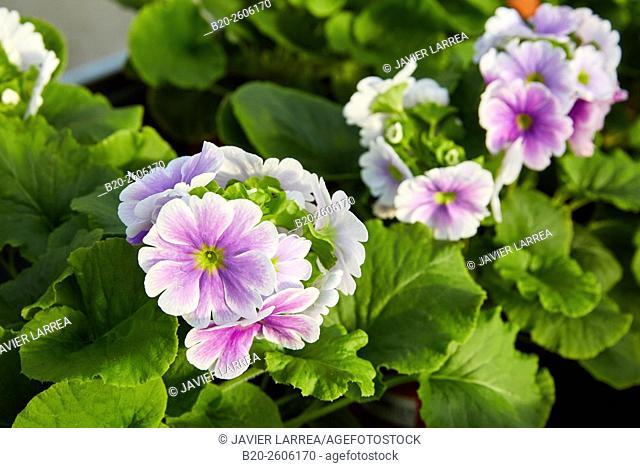 Pansies. Flowers. Garden center. Hondarribia. Gipuzkoa. Basque Country. Spain