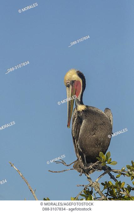 Central America, Mexico, Baja California Sur, Puerto San Carlos, Magdalena Bay (Madelaine Bay), Brown pelican (Pelecanus occidentalis), adult