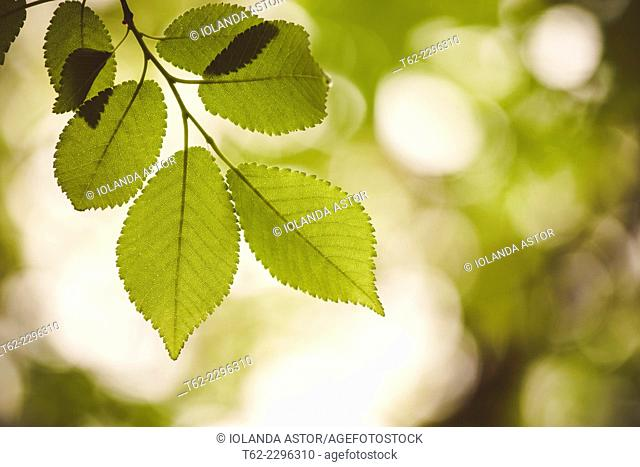 Hojas en el árbol en primavera. Contraluz. Color