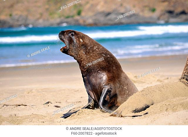 Endemic New Zealand or Hooker's sea lion, Phocarctos hookeri, one of the rarest species of sea lions in the world, interacting, Catlins coast, South Island