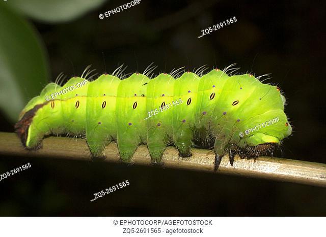 Tasar Silkmoth (Antherea myllita) Caterpillar, Mumbai, Maharashtra, India