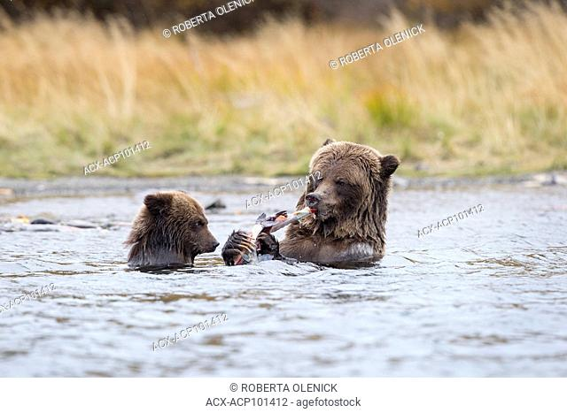 Grizzly bear (Ursus arctos horribilis), female eating sockeye salmon (Oncorhynchus nerka) as cub of the year watches/food begs, Central Interior