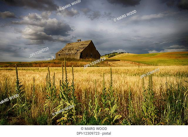 Wooden barn surrounded by wheat fields; Palouse, Washington, United States of America