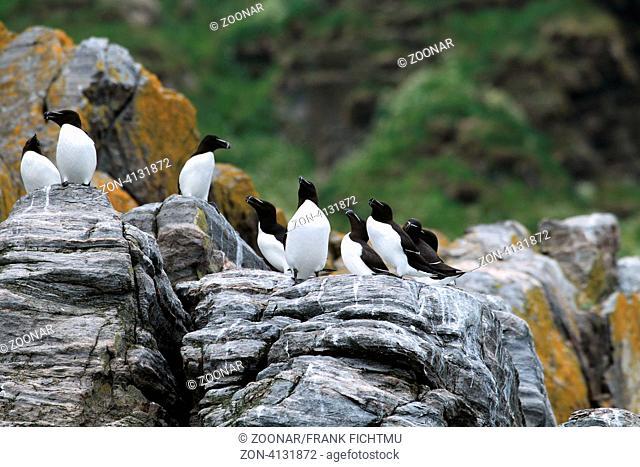 Tordalk am Vogelfelsen