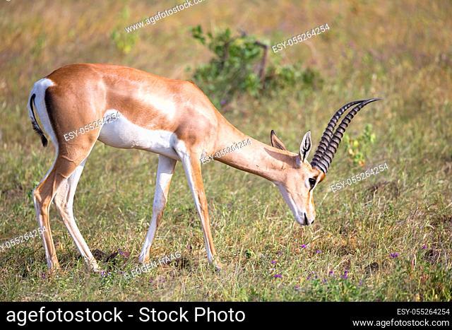 Some native antelopes in the grassland of the Kenyan savannah