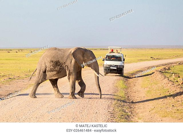 Tourists in safari jeeps watching and taking photos of big wild elephant crossing dirt roadi in Amboseli national park, Kenya