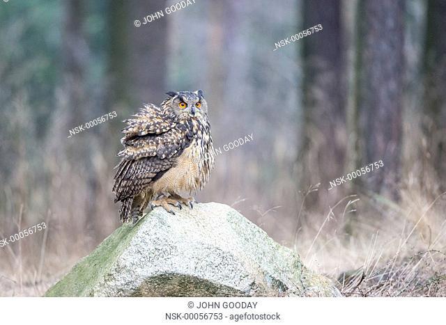 Eurasian Eagle-owl (Bubo bubo) sitting rock in a forest clearing, Czech Republic, South Bohemia, Zdarske vrchy