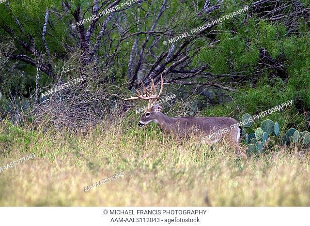 White-tailed Deer (Odocoileus virginianus) alert buck portrait during fall in cactus Santa Margarita Ranch Cotulla, Texas