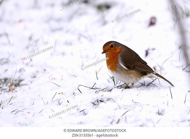 A Robin (Erithacus rubecula) feeds on a snow covered lawn, East Sussex, UK