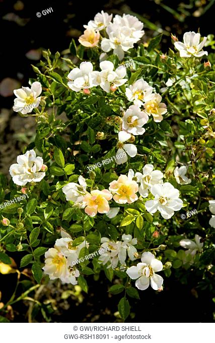 ROSA 'SILICON VALLEY DIAMOND'