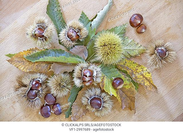 Still life with chestnuts in a kitchen, lombardy, italian, Italy