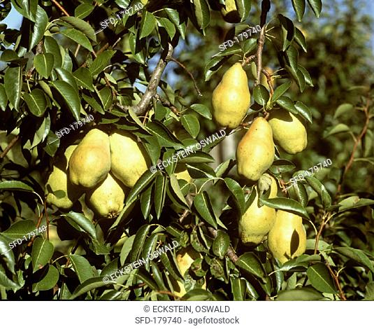 Williams' Bon Chrétien pears on the tree