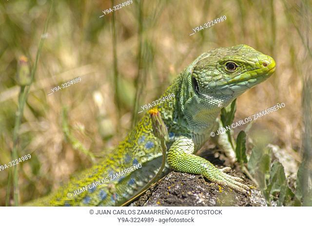 Timon lepidus, ocellated lizard, Squamata, Reptilia, Lacertidae, Valdelacasa, Salamanca, Castilla y Leon, Spain