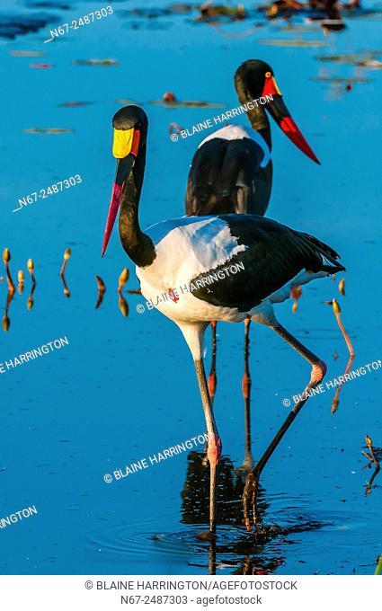 Saddle-billed storks in a shallow stream, near Kwara Camp, Okavango Delta, Botswana