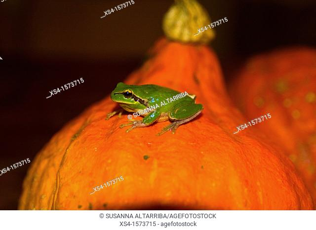 European tree frog, Hyla arborea, of top of pumpkin, Cucurbita