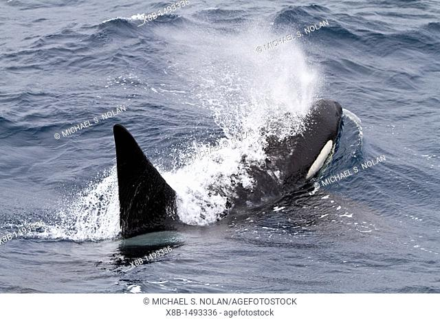 An adult bull among a pod of about 20 killer whales Orcinus orca in Antarctic Sound near the Antarctic Peninsula, Antarctica