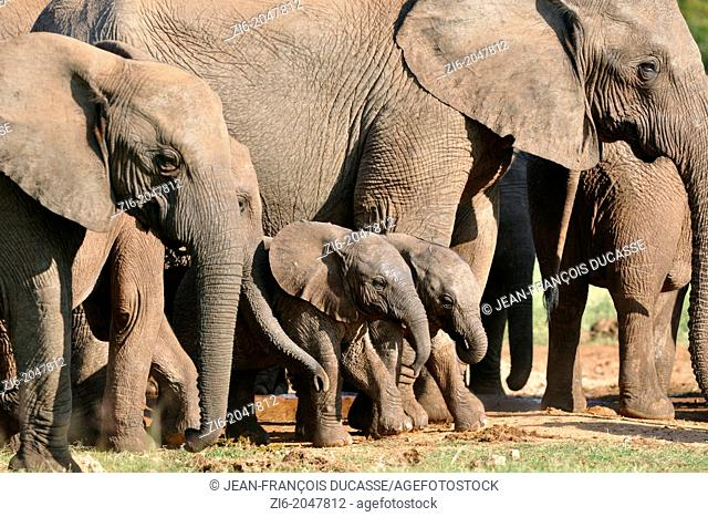 African elephants, babies and calves, Loxodonta africana, standing at the water hole, Addo Elephant National Park, Eastern Cape, South Africa
