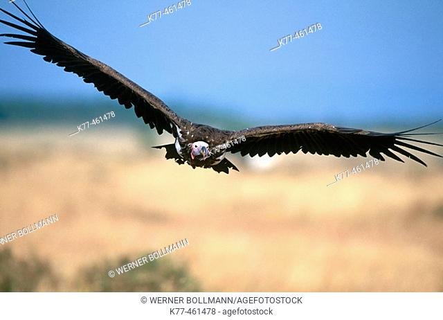 Lappet-faced Vulture (Torgos tracheliotus). Masai Mara Game Reserve. Kenya