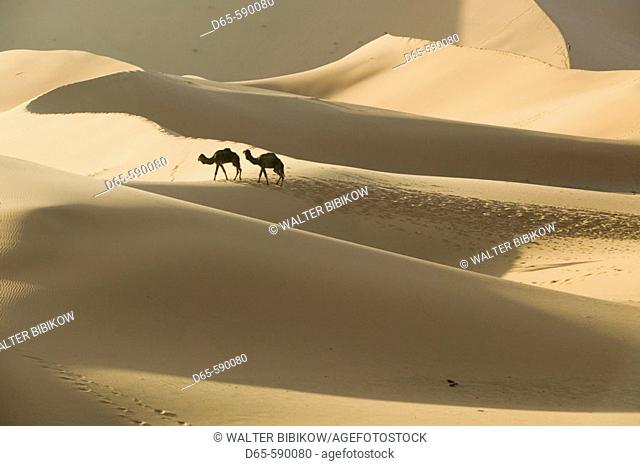 Camel Caravan on the Erg Chebbi Dunes (up to 400 ft in height). Morning. Merzouga. Tafilalet. Morocco