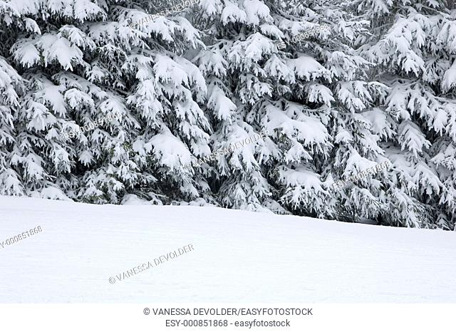 Snow covered pine trees  Location: France, Vosges