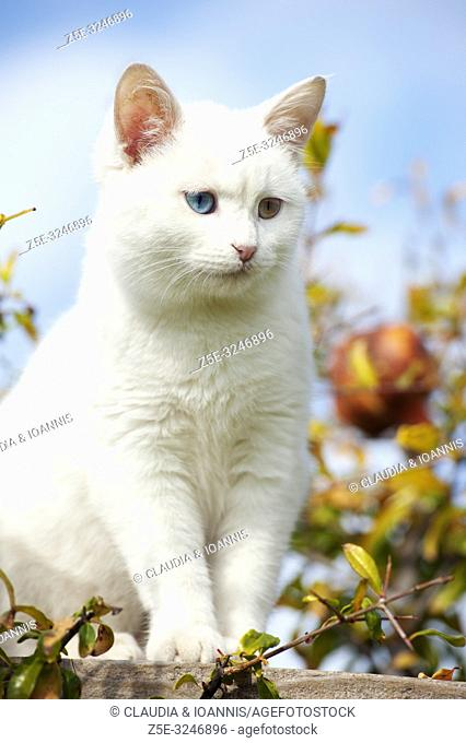 Beautiful white odd eyed kitten sitting in a tree with fall foliage against a blue sky