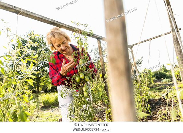 Senior woman in garden looking at tomato plant