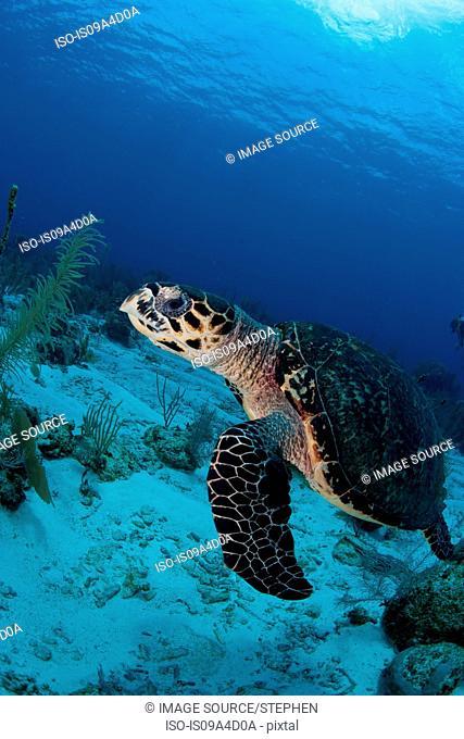 Swimming Hawksbill turtle