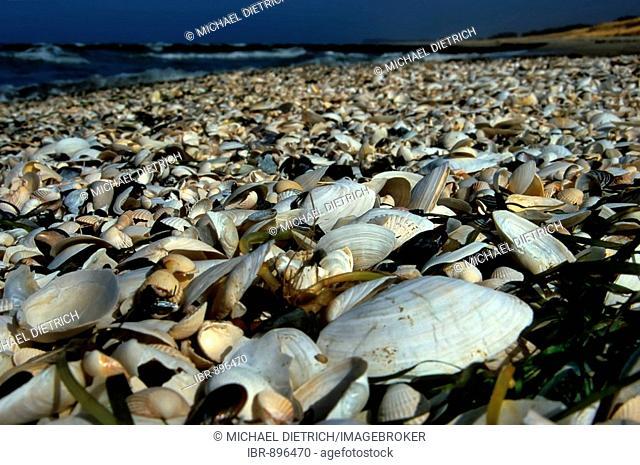 Shells covering the beach on Hiddensee Island, Mecklenburg-Western Pomerania, Germany, Europe