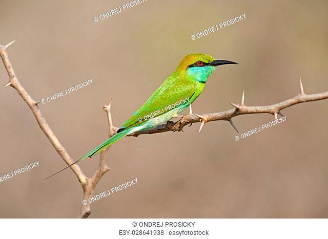Little Green Bee-eater, Merops orientalis