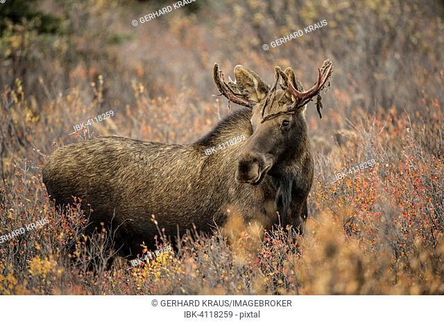Moose (Alces alces), antlers with velvet, Denali National Park, Alaska, USA