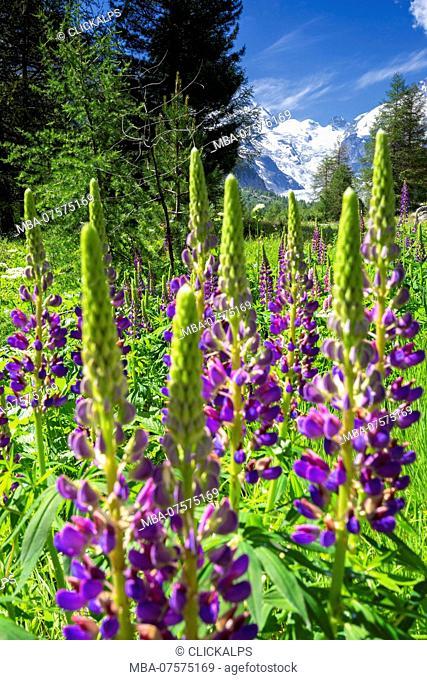 Bloom of lupine with Morterasch Glacier in the background, Morterasch Glacier, Bernina Pass, Engadin, Graubünden, Switzerland, Europe