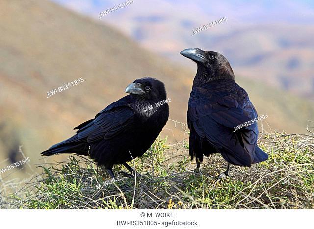 Canary Islands Raven, Canary Raven (Corvus corax tingitanus, Corvus tingitanus), pair sits on a bush in the mountains, Canary Islands, Fuerteventura