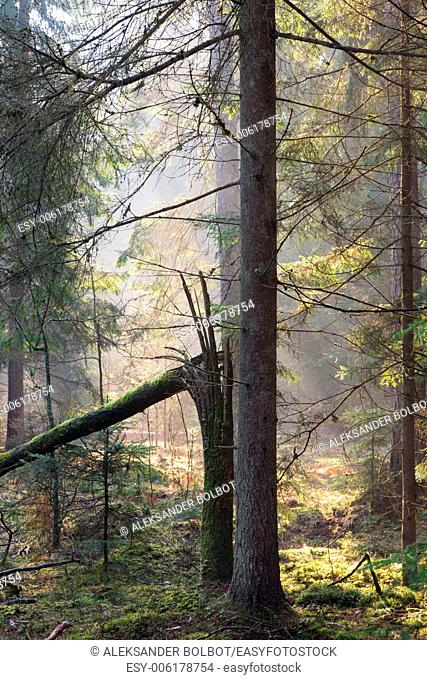 Sunbeam entering rich coniferous forest misty morning with spruce and broken tree