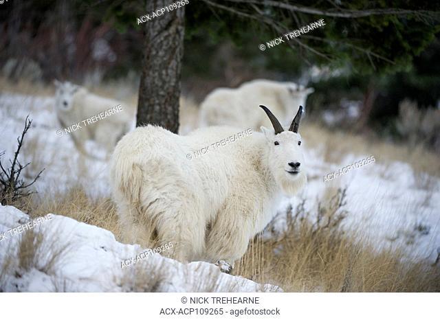 Male Mountain Goat, Oreamnos americanus, Southern British Columbia, Canada