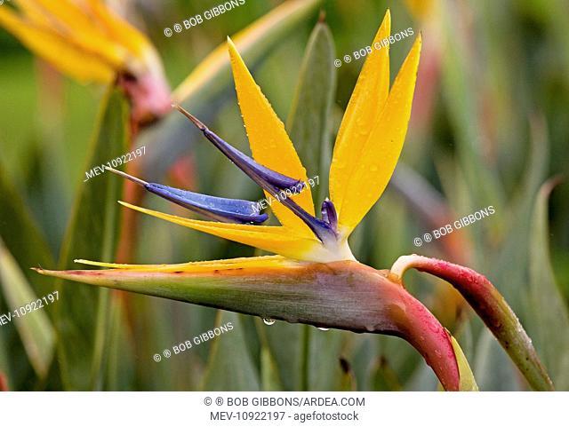 Strelitzia / Crane Flower / Bird of Paradise. South Africa. (Strelitzia reginae)
