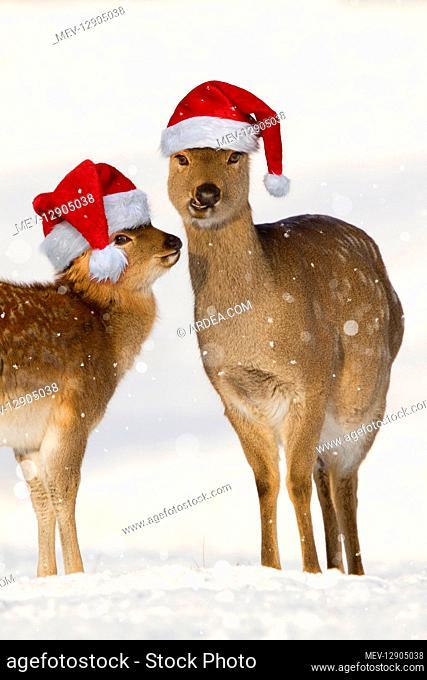Sika Deer, wearing Christmas hats in snow , Yorkshire UK