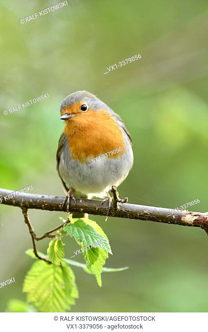 Robin Redbreast / Rotkehlchen ( Erithacus rubecula ) perched on the branch of a tree in spring, looks cute, vernal colours, wildlife, Europe