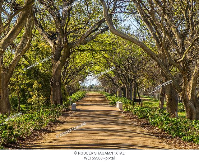 A country road with a tree canopy forming an overhead avenue. Western Cape Province, South Africa