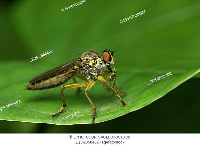 Robber fly, Aarey Milk Colony, INDIA. The robber fly family, also called assassin flies. They are powerfully built, bristly flies with a short