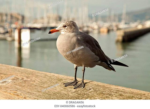 San Francisco Pier 39 seagull and seals at California USA