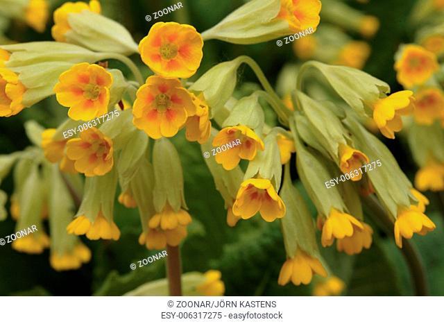 Common cowslip - Primula veris