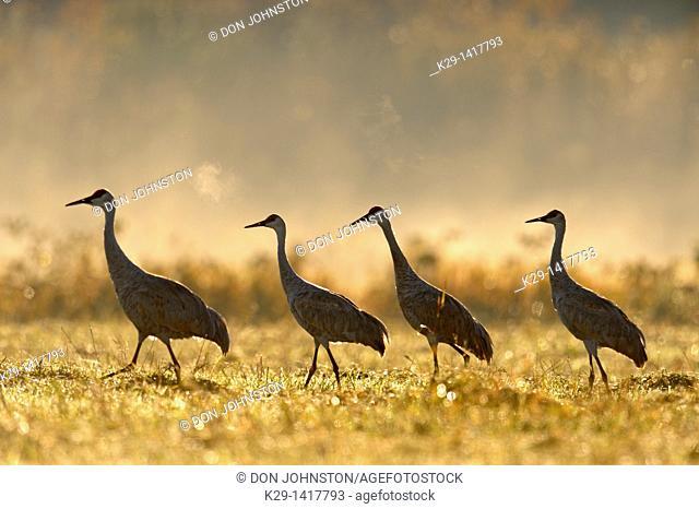 Sandhill crane Grus canadensis Migratory flock feeding in hayfield Mindemoya Manitoulin Island