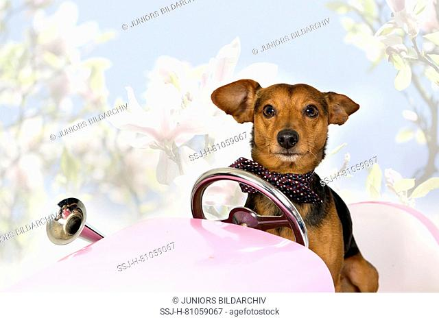 German Pinscher/Dachshound Mix Balou sitting in a pink car, Magnolia in the background