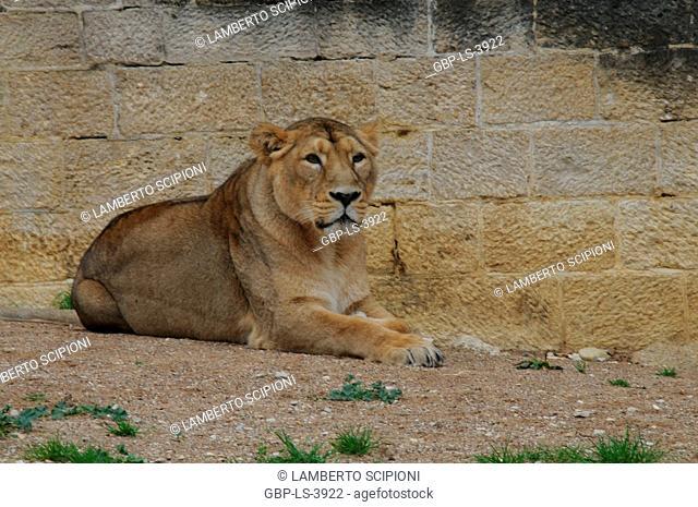 Animal, Lioness, Zoo, Panthera leo, 2014